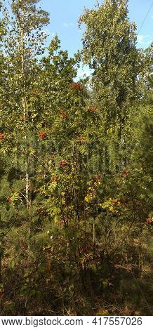 Green Bush With Red Berries In The Forest