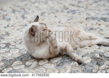Old blue eyed cat lies and washes up on cobblestones in Syracuse street. Siamese cat