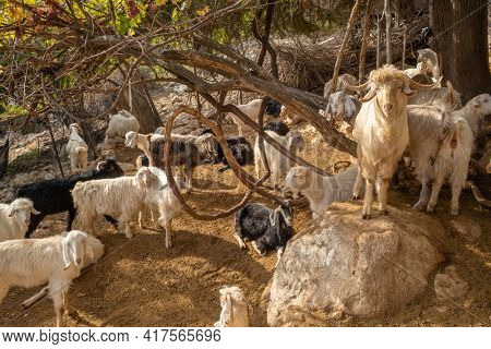 Herd of domestic goats in Turkey. Trip of goats close-up