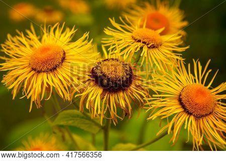 Golden flowers in summer garden background