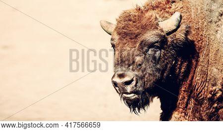 European bison portrait close up