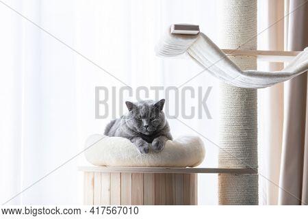 British cat lying cat tree scratching post. British shorthair breed