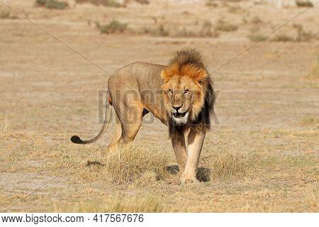 Big male African lion (Panthera leo) in natural habitat, Etosha National Park, Namibia