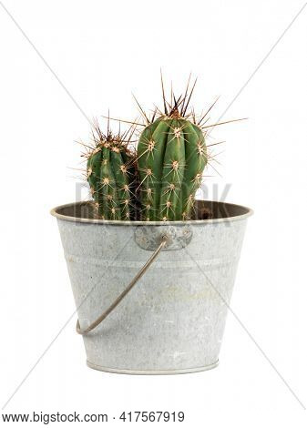 Small cactus, Stetsonia coryne genus, in tin bucket  isolated  on white background