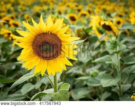many sunflowers on a field