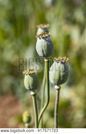 Macro Photo Of Nature Pink Bud Flower Poppy. Background Blooming Poppy Flowers With A Closed Bud. Po