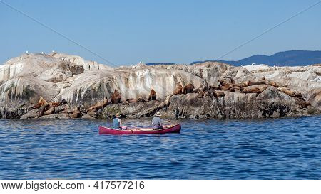 Two Men Paddle In A Red Canoe And Watch A Herd Of Giant California Sea Lions Off The Sunshine Coast