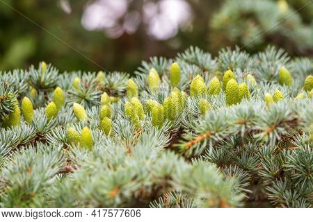Fir Branches With Fresh Green Cones In The Sunset Light. Young Green Cones Of Spruce In The Summer.