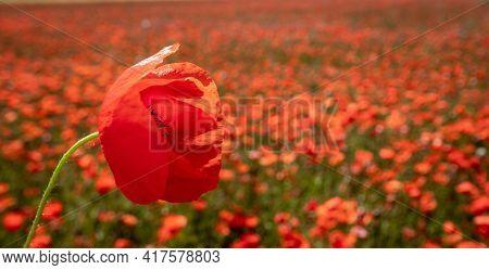red poppy on a poppy field