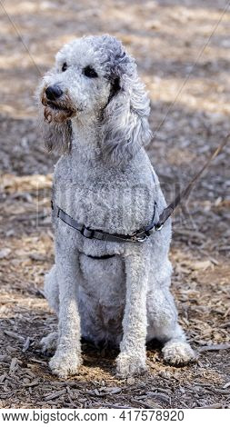 3-year-old Silver Platinum Phantom Standard Poodle Female. Off-leash Dog Park In Northern California
