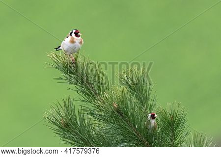 Pair Of Goldfinch (carduelis Carduelis) On A Fir Branch With Nice Green Blurry Background