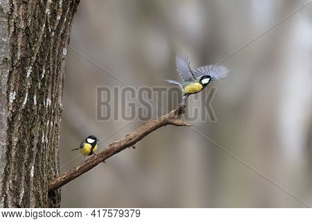 Pair Of Great Tit (parus Major) On A Tree Branch One Take Off