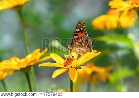 Butterfly Admiral And Flower. Beautiful Butterfly On A Yellow Flower On A Sunny Day On A Green Blurr