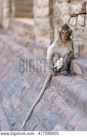 Portrait Of Monkey Or Crab-eating Macaque Live At Phra Prang Sam Yod Lop Buri, Thailand