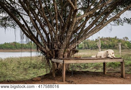 White Dog Sit And Rest On Old Wooden Stretcher Or Old Wooden Litter Bed On The Dry Ground Under Big