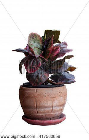 Croton, Variegated Laurel Or Garden Croton In Brown Pot Isolated On White Background Included Clippi