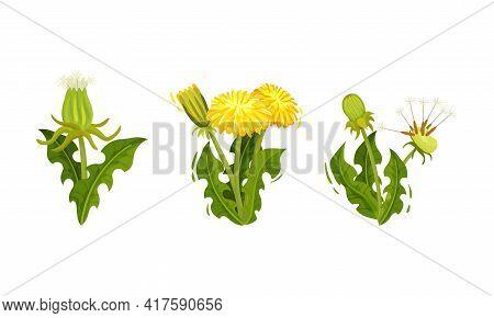 Dandelion Flowering Plant With Yellow Flower Head Vector Set