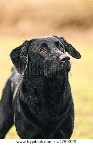 Shot of a Black Labrador in Countryside