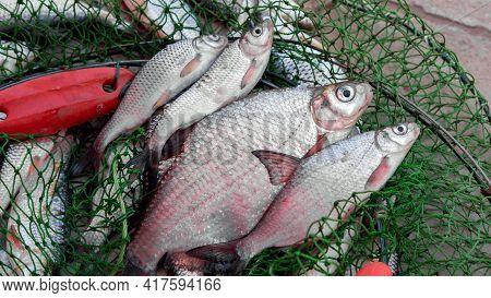 Freshly Caught Fish In The Net. Hand Man Boy
