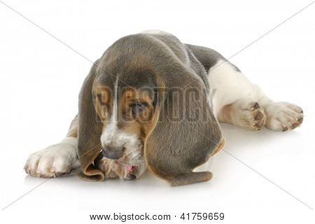 dog allergies - basset hound puppy licking foot with possible skin allergies poster