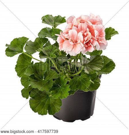 Pink Pelargonium Flowers Or Garden Pelargonium In Flower Pot On White Background