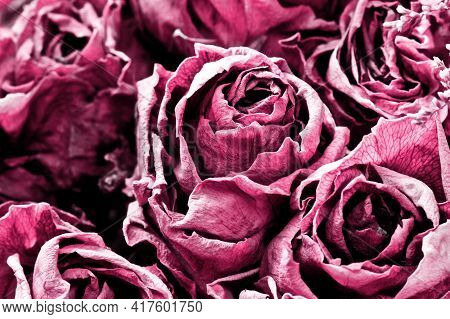 Dry Rose Background. Pink Rose Flower Texture. Dried Flowers Pattern.