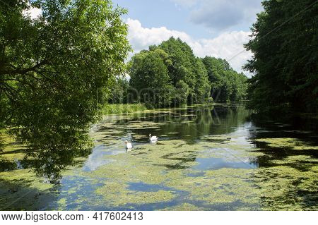 A Picturesque Serene Fairytale Forest Lake. A Couple, Two Beautiful White Swans Swim In A Green Pond