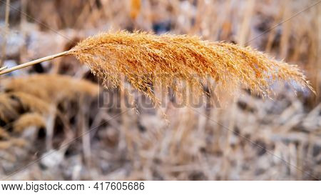 One Fluffy Pampas Grass. Selective Focus Autumn Dry