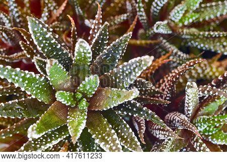 Cactus Haworthia Fasciata Detail. Fresh Natural Garden Background. Botany