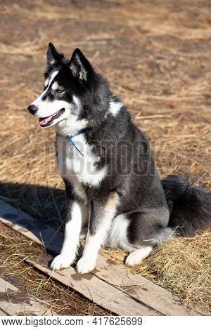 Young Black-white Husky Dog Sits On The Ground On A Sunny Spring Day. Front View