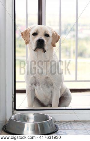 Hungry Sad Labrador Dog Waiting For Dinner Time Outside Glass Door. Domestic Pet Animal Behavior, Ob