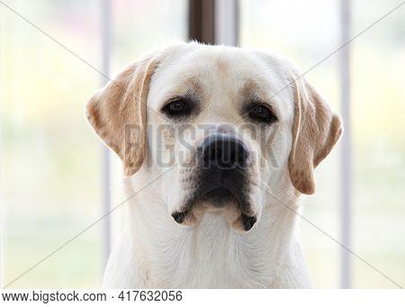 Portrait Of Young Purebred White Labrador Retriever
