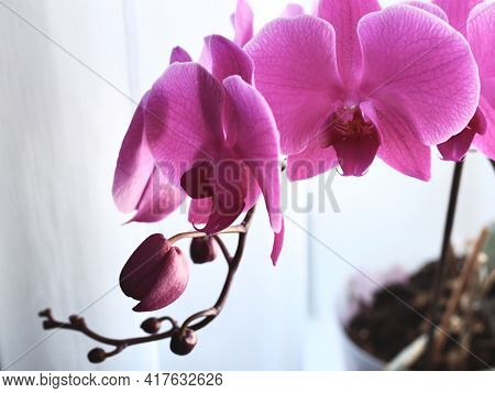 Macro Of Purple Orchid Flower, Pink Phalaenopsis Moth Orchid Close-up. Spring And Summer Nature Back
