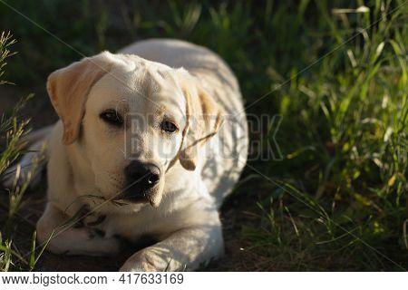 Yellow Labrador Retriever Dog Lying Calmly On Green Grass Outdoors, Having Rest. Copy Space. Dogs, P
