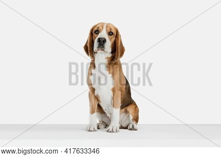 Small Funny Dog Beagle Posing Isolated Over White Studio Background.