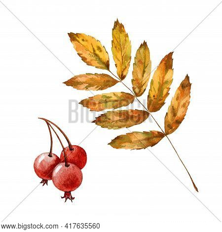 Rowan Yellow Leaf And Berries Set. Watercolor Illustration. Mountain Ash Autumn Leaf And Fruit Eleme