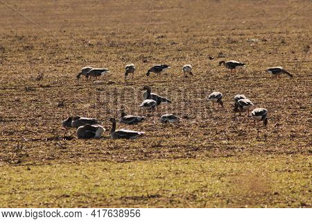 A Flock Of Wild Geese Eating In A Field During Their Spring Migration. Migration Of Wild Geese.