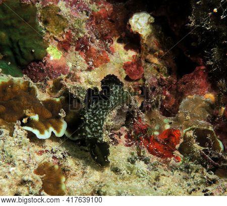 A Elysia Marginata Nudibranch Crawling Cebu Philippines