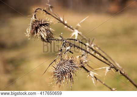 Dry Thistle In The Field In The Spring Season. Thistle Flower On The Meadow.