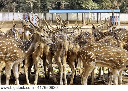 Closeup Of Chitals Outdoors In A Zoo During Daylight. Wildlife And Nature Concept.