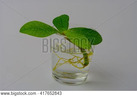 Sprout Of Tree In A Glass Of Water On A White Backdrop, Side View, Minimalist Style Home Decoration.