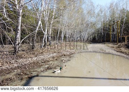 Early Spring, Ducks Flew In And Mate Females And Males On Puddles Melted From Snow