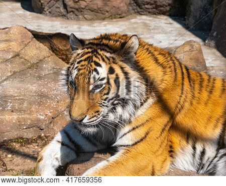 Bengal Tiger Lies On A Rock And Rests. Head Of Bengal Tiger Close-up