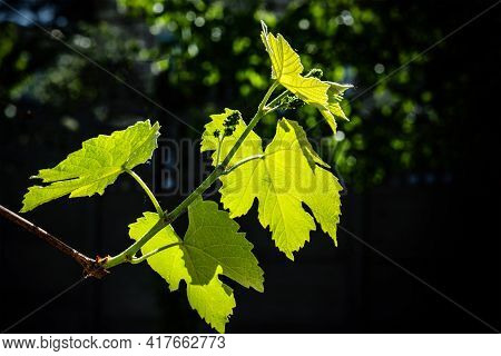 Vine Leaves With Ovary Brightly Lit By The Sun, Against A Natural Dark Background.