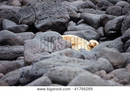 Portrait of sea lion at rocky coast poster