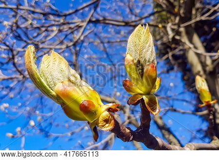 Phase Of Chestnut Bud Opening, A Symbol Of The Coming Spring And Easter. Third Stage - Halfly Opened