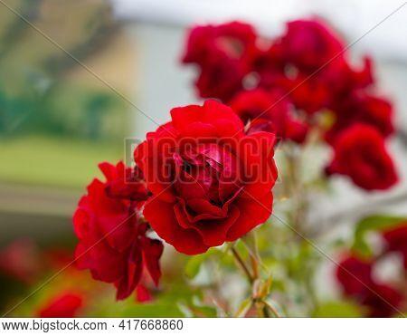 Red roses flower in the garden