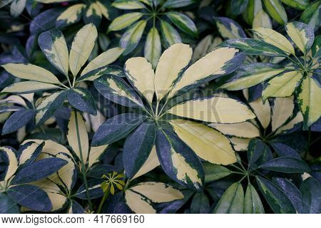 The White And Green Variegated Leaves Of Umbrella Tree \'trinette\'