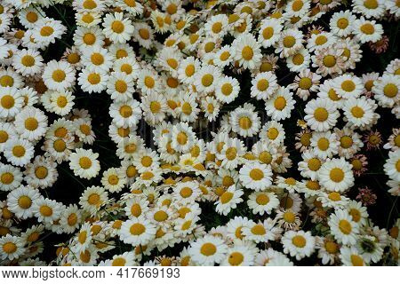A Spread Of The White And Yellow Marguerite Daisy Flowers