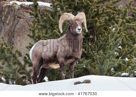Bighorn Ram standing proudly on a snowy mountain side poster